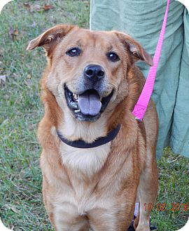 Husky/Retriever (Unknown Type) Mix Dog for adoption in SUSSEX, New Jersey - Angelia(45 lb) Good Family Pet