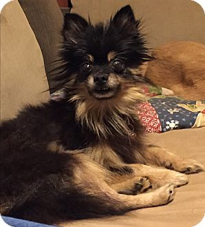 Pomeranian Mix Dog for adoption in Poplarville,, Mississippi - Zsa  Zsa