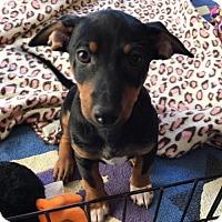 Dachshund Mix Puppy for adoption in Alpharetta, Georgia - Karlos