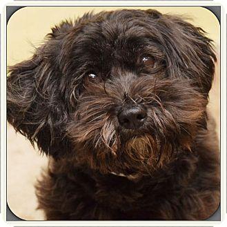 Havanese Mix Dog for adoption in Brooksville, Florida - Ebony