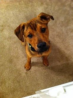 German Shepherd Dog Mix Dog for adoption in Richfield, Wisconsin - Phoenix