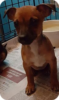Miniature Pinscher Mix Dog for adoption in West Palm Beach, Florida - Nicka