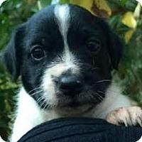 Adopt A Pet :: Pongo - Bradenton, FL
