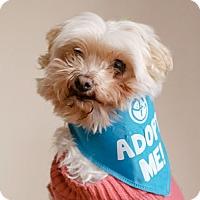 Adopt A Pet :: Bella Maltese - Pacific Grove, CA