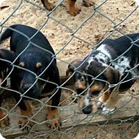 Adopt A Pet :: Catahoula/Rotties - Melrose, FL