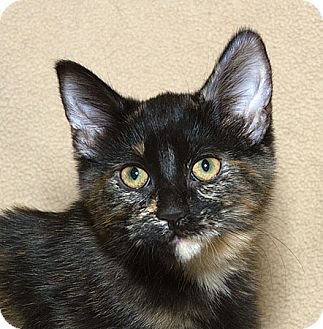 Domestic Shorthair Cat for adoption in Sacramento, California - Tortilla N