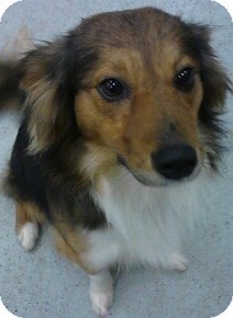 Sheltie, Shetland Sheepdog/Papillon Mix Dog for adoption in River Falls, Wisconsin - Bach