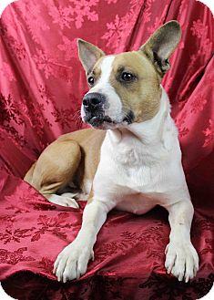 corgi boston terrier daddy adopted dog westminster co boston terrier 3417