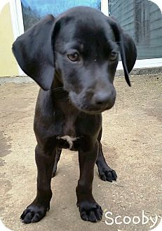 Labrador Retriever Mix Puppy for adoption in Huntsville, Alabama - Scooby