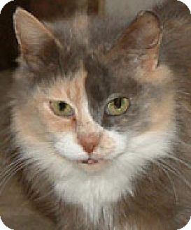 Calico Cat for adoption in Frankenmuth, Michigan - Puddles- Cancer Survivor