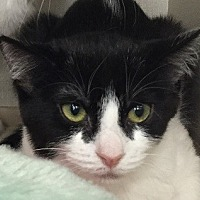 Domestic Shorthair Cat for adoption in Woodland Hills, California - Millie