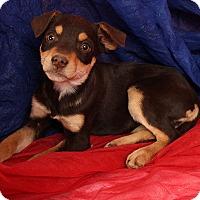 Adopt A Pet :: Bessy BoxHound - St. Louis, MO