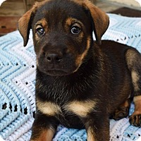 Adopt A Pet :: Serenity Pup - Private - Adopted! - San Diego, CA