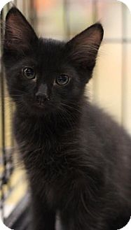 Domestic Longhair Kitten for adoption in Sacramento, California - Ninja