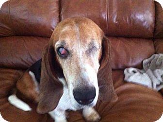 Basset Hound Dog for adoption in Houston, Texas - Dory