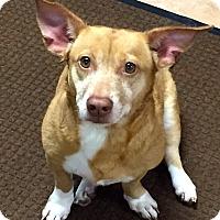 Adopt A Pet :: Short legged but CUTE!!! - Ft Myers Beach, FL