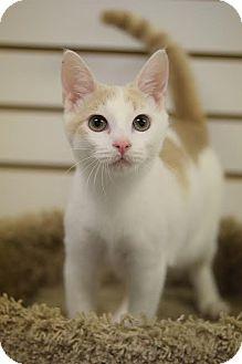 Domestic Shorthair Cat for adoption in DFW Metroplex, Texas - Tartar