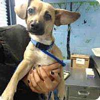 Chihuahua Mix Dog for adoption in San Bernardino, California - URGENT ON 10/22 San Bernardino