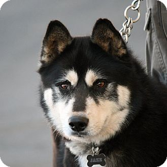 Siberian Husky Mix Dog for adoption in Palmdale, California - Jake
