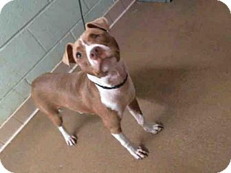 Pit Bull Terrier Mix Dog for adoption in Tulsa, Oklahoma - COCO