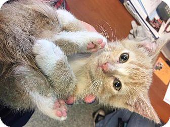 American Shorthair Kitten for adoption in Elgin, Illinois - Mocha