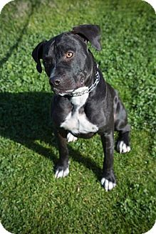 Pit Bull Terrier Mix Dog for adoption in Tucson, Arizona - Jake