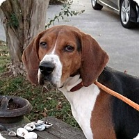 Treeing Walker Coonhound Dog for adoption in Sweetwater, Tennessee - Travis
