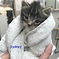 Domestic Shorthair Kitten for adoption in Cliffside Park, New Jersey - SYDNEY