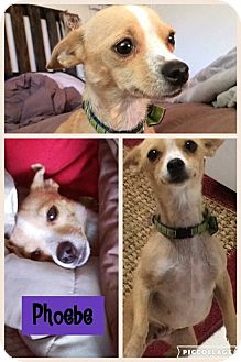 Chihuahua Mix Dog for adoption in Albuquerque, New Mexico - Phoebe
