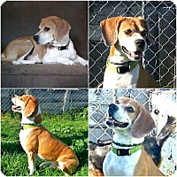 Beagle/Pug Mix Dog for adoption in Findlay, Ohio - TIMMIE