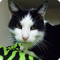 Adopt A Pet :: Great Catsby - Hamburg, NY