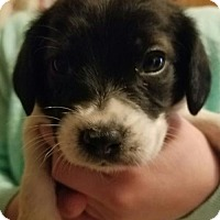Adopt A Pet :: Blossom's pups coming 1-27 ADOPTION PENDING - Pottstown, PA