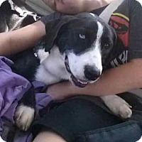 Adopt A Pet :: Oreo (courtesy) - Blakeslee, PA