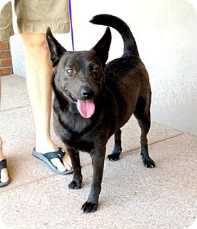 Schipperke/Chow Chow Mix Dog for adoption in Phoenix, Arizona - Alicia