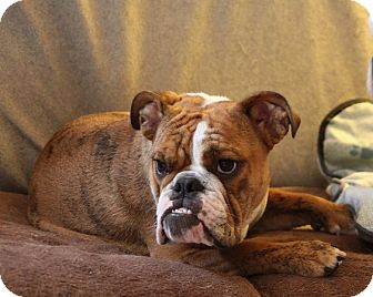 English Bulldog Puppy for adoption in Chicago, Illinois - Merlin