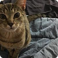 Adopt A Pet :: Elliot - New York, NY
