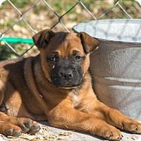 Adopt A Pet :: Scooby Doo $250 - Seneca, SC