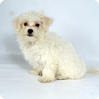 Adopt A Pet :: Horton Maltese - St. Louis, MO