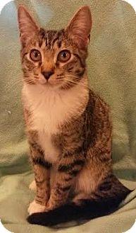 Domestic Shorthair Kitten for adoption in Attalla, Alabama - Hugh
