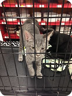 Domestic Shorthair Kitten for adoption in Baltimore, Maryland - .Freddy
