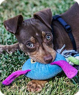 Miniature Pinscher/Chihuahua Mix Puppy for adoption in La Habra Heights, California - Mocha