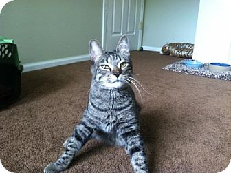 Domestic Shorthair Cat for adoption in Fort Collins, Colorado - Mr. Weeble