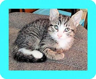 Domestic Shorthair Kitten for adoption in Euless, Texas - Kitten - Mallory