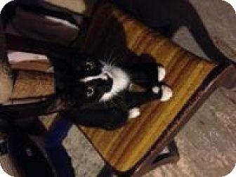Domestic Shorthair Kitten for adoption in Franklin, West Virginia - Freddie