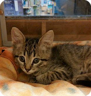Domestic Shorthair Kitten for adoption in Warrenton, Missouri - Paisley