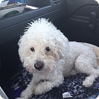 Poodle (Miniature) Dog for adoption in Corona, California - Zimba, I ROAR! !