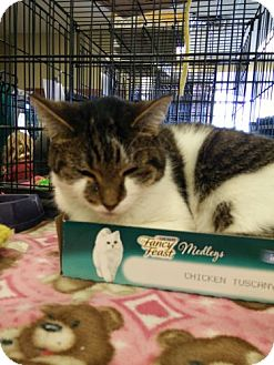 Domestic Shorthair Cat for adoption in Avon, Ohio - Janie