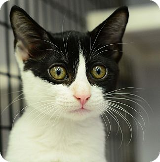 Domestic Shorthair Kitten for adoption in West Palm Beach, Florida - Minnow