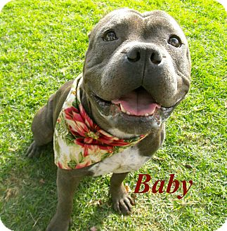 Staffordshire Bull Terrier Mix Dog for adoption in El Cajon, California - Baby