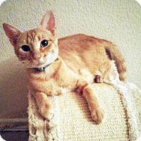 Adopt A Pet :: Buttercup - Arlington/Ft Worth, TX